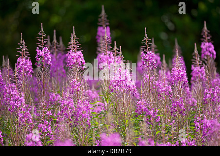 Rose Bay Willowherb, Epilobium angustifolium perennial wildflower, abundant on newly clear and burned areas.  SCO - Stock Photo