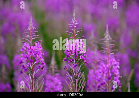 Rose Bay Willowherb, Epilobium angustifolium perennial wildflower, abundant on newly clear and burned areas.    - Stock Photo
