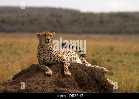 Cheetah, Acinonyx jubatus relaxing on a termite mound - Stock Photo