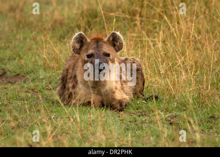 Spotted Hyena, Crocuta crocuta resting in the masai mara - Stock Photo