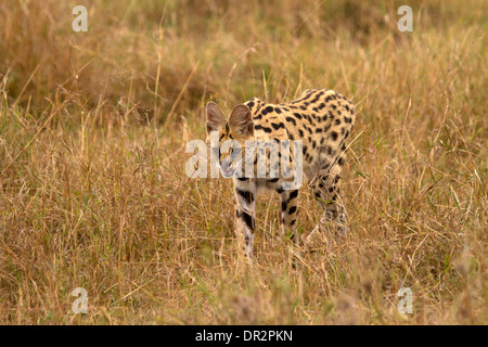 Serval cat, Leptailurus serval hunting - Stock Photo