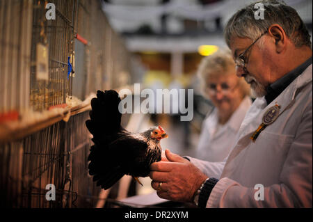 Lanark, UK. 18th January 2013, Judging takes place at the 40th Scottish National Poultry Show which is sponsored - Stock Photo