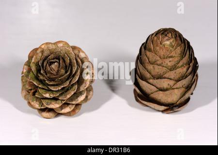 Larch cones, Larix decidua and Larix kaempferi, European and Japanese Larches - Stock Photo