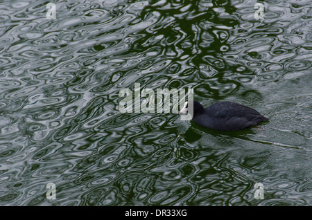 Eurasian coot, Fulica atra swimming on water in winter - Stock Photo