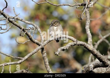 Jungle Owlet, Glaucidium radiatum - Stock Photo