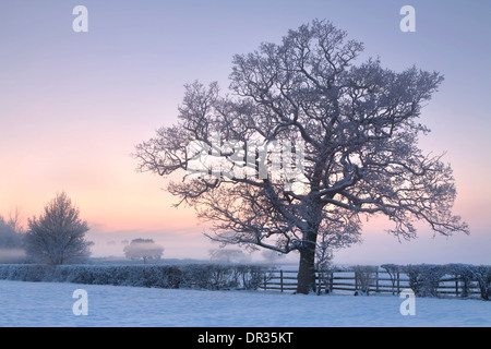 An oak tree growing in a hedge stands out through the snow and mist in the corner of a field near Defford at sunset. - Stock Photo