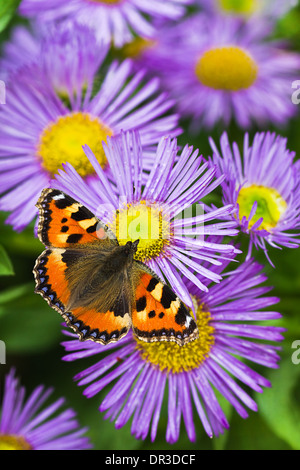 Small tortoisesehell butterfly on China aster flowers in summer - Stock Photo