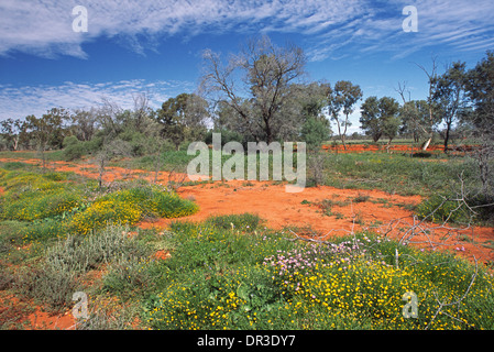 Colourful wildflowers and emerald grass on red soil and among shrubs in Australian outback near Brewarrina NSW after - Stock Photo