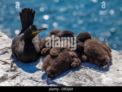 Shag (Phalacrocorax aristotelis) nesting on the Farne Islands - Stock Photo