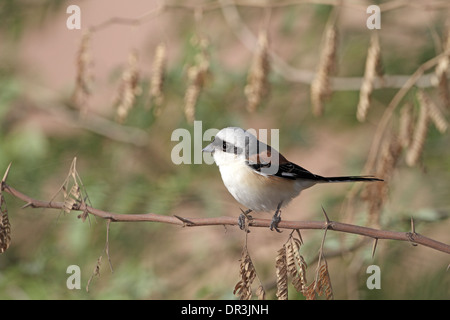 Bay-backed Shrike, Lanius vittatus - Stock Photo