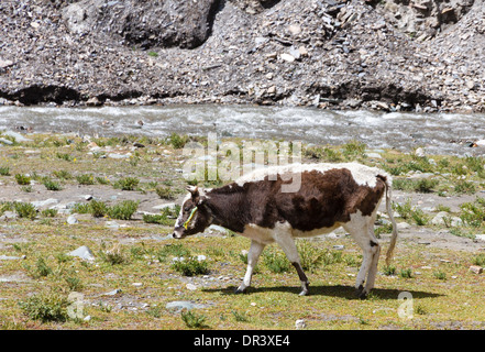 Spotted cow grazing on the Tibetan plateau near a river - Stock Photo