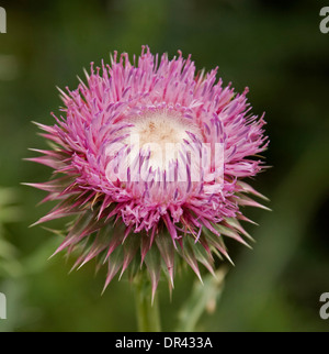 Attractive pink / purple flower of Spear / Scotch thistle - Cirsium vulgare - a weed in Australia against green - Stock Photo