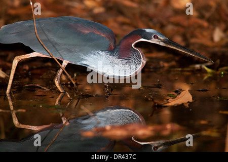 Agami Heron or Chestnut-bellied Heron - La Laguna del Lagarto Lodge, Boca Tapada, San Carlos, Costa Rica - Stock Photo
