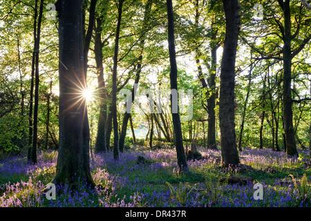 Sun bursting through the trees casting shadows over a carpet of bluebells - Stock Photo