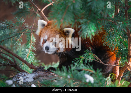 red panda - Ailurus fulgens, also called lesser panda and red cat-bear - Stock Photo