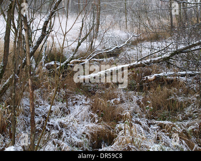 Beaver felled willow trees in a bog - Stock Photo