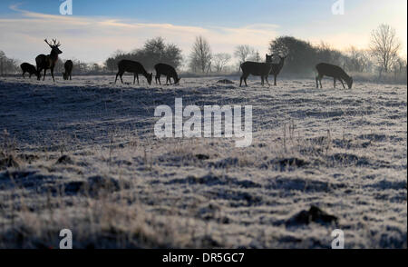 Ashbourne, Peak Districk, UK . 20th Jan, 2014. Deer wake up to a frosty morning on Calton Moor near Ashbourne in - Stock Photo