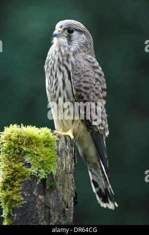 A kestrel perched on a mossy fence post UK - Stock Photo