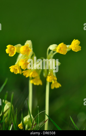 Two cowslip stems with their yellow flowers UK - Stock Photo