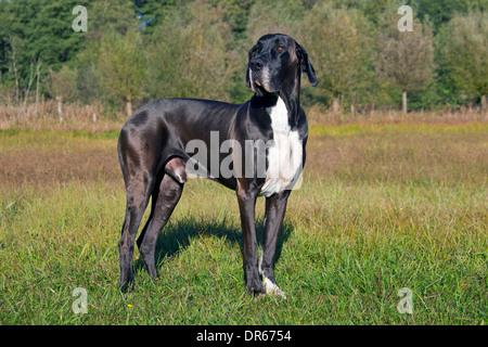 Great Dane / Deutsche Dogge / German Mastiff, one of the world's tallest dog breeds - Stock Photo