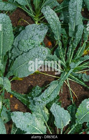 Organic Kale or borecole (Brassica oleracea Acephala Group) on a field - Stock Photo