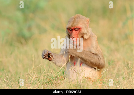 Rhesus Monkey, Rhesus Macaque (Macaca mulatta), female, Keoladeo Ghana national park, Rajasthan, India - Stock Photo