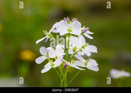 Cardamine pratensis  cuckoo flower Wiesen Schaumkraut - Stock Photo