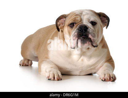 english bulldog laying down looking at viewer isolated on white background - male two years old - Stock Photo