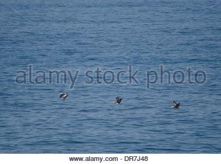 Peruvian Pelicans (Pelecanus thagus) in flight. - Stock Photo
