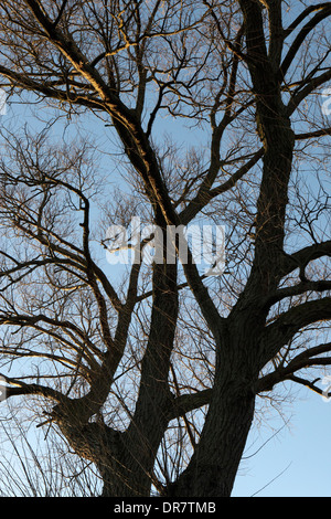 Willow tree outline, without leaves, silhouette, winter cold, UK - Stock Photo