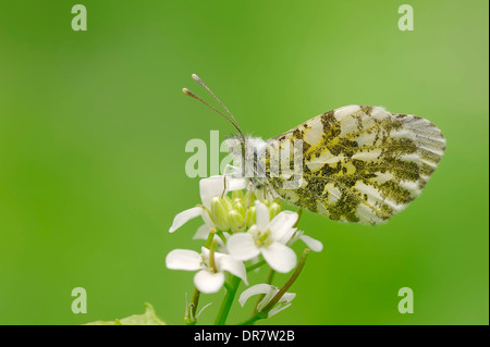 Orange Tip (Anthocharis cardamines), female perched on Garlic Mustard (Alliaria petiolata), North Rhine-Westphalia, - Stock Photo