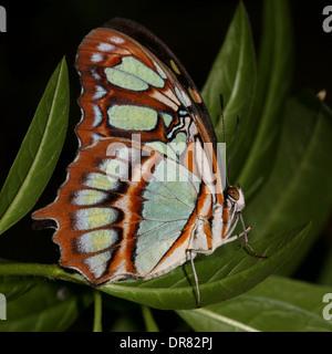 Malachite butterfly (Siproeta stelenes) close-up - Stock Photo
