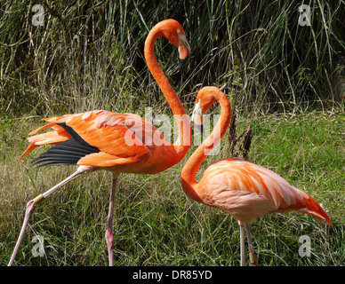 Two Flamingos Standing On Grass - Stock Photo