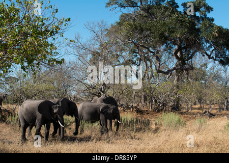 A copy of adult elephant walks near Savute Elephant Camp by Orient Express in Botswna in Chobe National Park. - Stock Photo