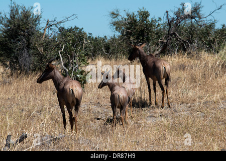 Some wildebeest scamper near the camp Savute Elephant Camp by Orient Express in Botswna in Chobe National Park. - Stock Photo