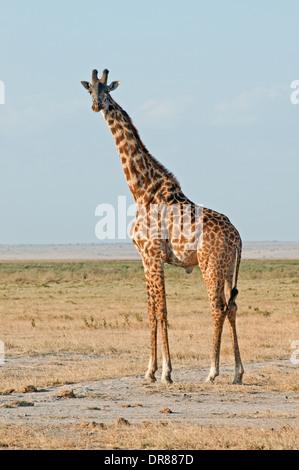 Common Giraffe in Amboseli National Park Kenya East Africa - Stock Photo
