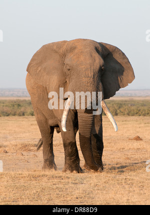 Mature male Elephant with ears outstretched and good tusks in Amboseli National Park Kenya East Africa - Stock Photo