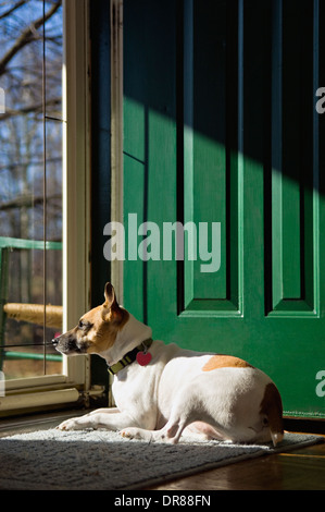 Jack Russell Terrier Warming Himself in the Sun while Looking Out the Front Door of a Home - Stock Photo