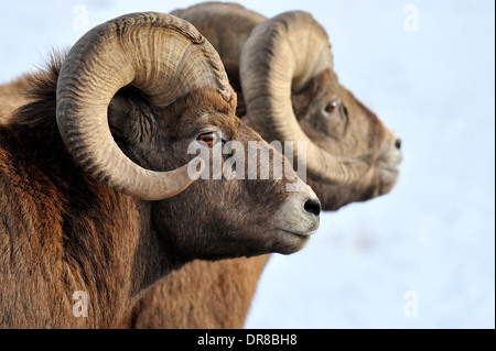 A side portrait view of a wild Bighorn sheep - Stock Photo