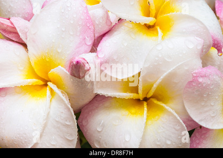 Closeup of a bouquet of white, pink and yellow plumeria blooms covered in raindrops - Stock Photo