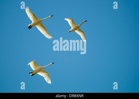 Trumpeter  Swans in flight - Stock Photo