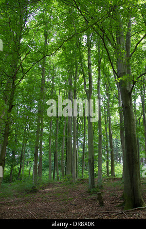 Beech woold buchenwald forest wald deciduous deciduous - Stock Photo