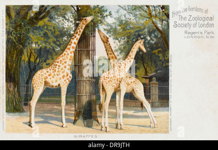 Giraffes at London Zoo - Regent's Park - Stock Photo