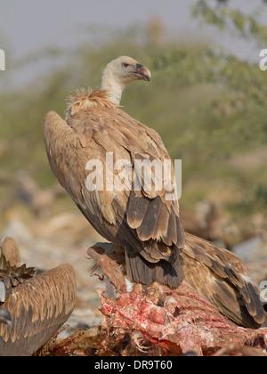 Griffon Vulture (Gyps fulvus) near Bikaner, Rajasthan, India. near Bikaner, Rajasthan, India. - Stock Photo