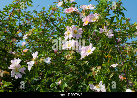 Dog roses (rosa canina) flowers in an English hedgerow against a bright blue summer sky - Stock Photo