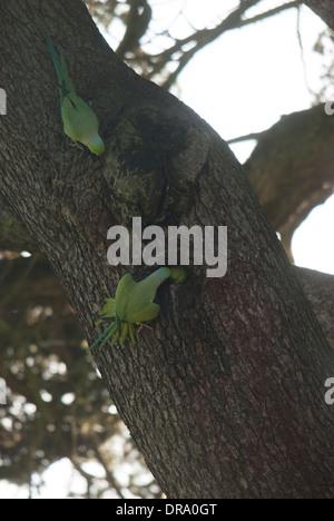 Ring Necked Parakeets (Psittacula krameri) at a nesting sight during Winter, unusual behavior. - Gunnersbury Park - Stock Photo