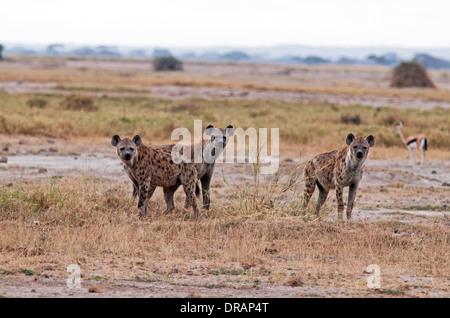 Three Spotted Hyenas Amboseli National Park Kenya - Stock Photo