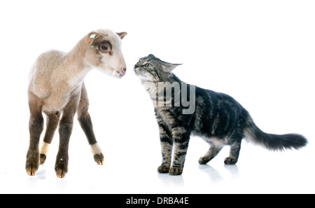 young lamb and kitten in front of white background - Stock Photo