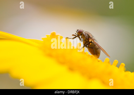 Fly (family Muscidae) feeding on a Tagetes flower in a garden. Powys, Wales. July. - Stock Photo