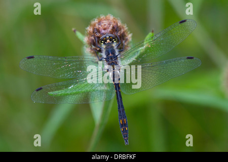 Black Darter Dragonfly (Sympetrum danae) adult male on a knapweed plant. Powys, Wales. August. - Stock Photo